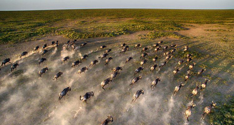 Marea Migratie la Four Seasons Safari Lodge Serengeti